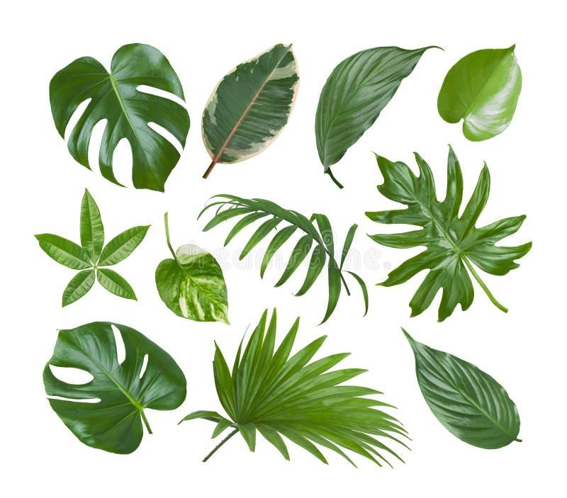 Colagem das folhas exóticas do verde da planta isoladas no fundo branco imagem de stock royalty free