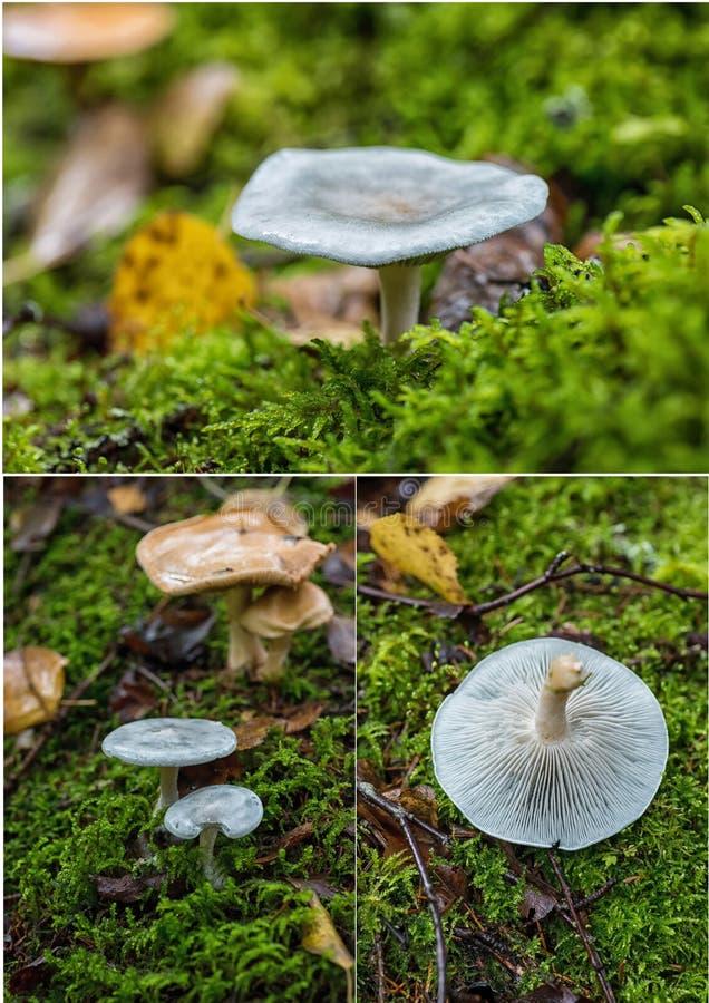 Colagem das imagens do cogumelo do odora do Clitocybe imagens de stock