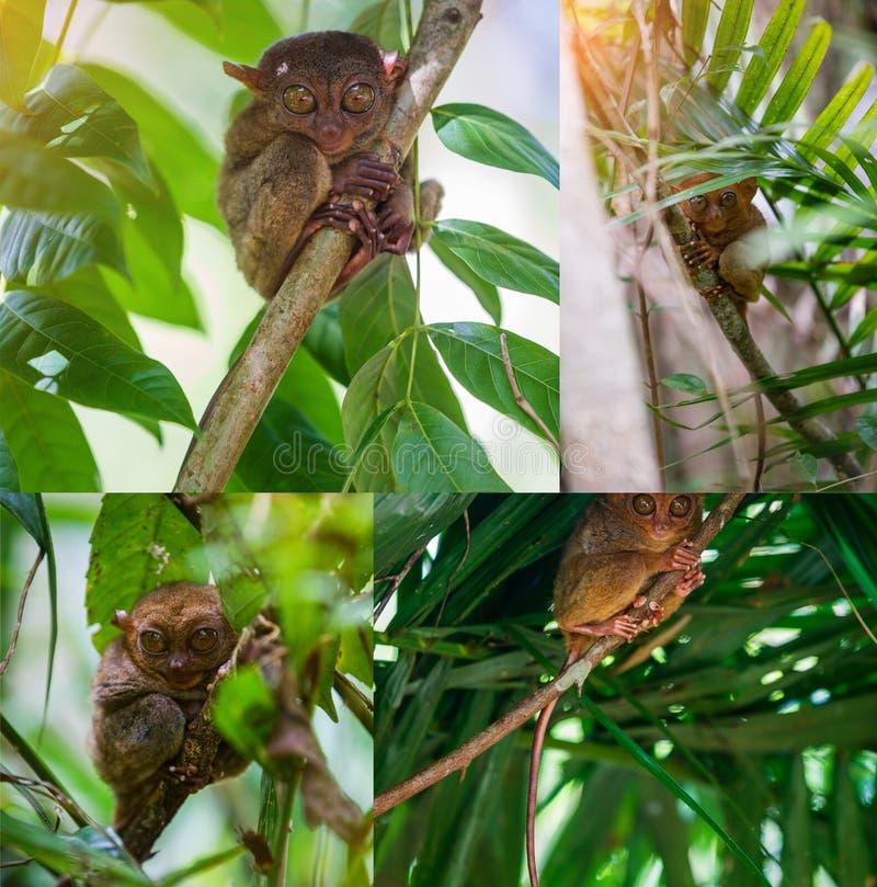 A colagem das imagens Tarsier Bohol, Filipinas, retrato do close up, senta-se em uma árvore na selva foto de stock