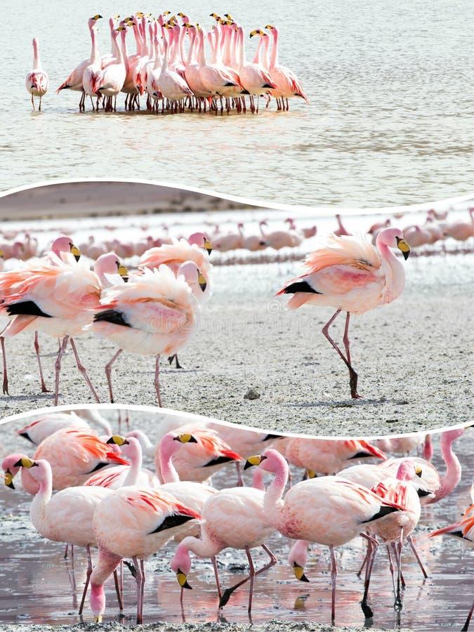 Colagem de imagens do flamingo do rosa de Bolívia - fundo do curso (meu fotografia de stock