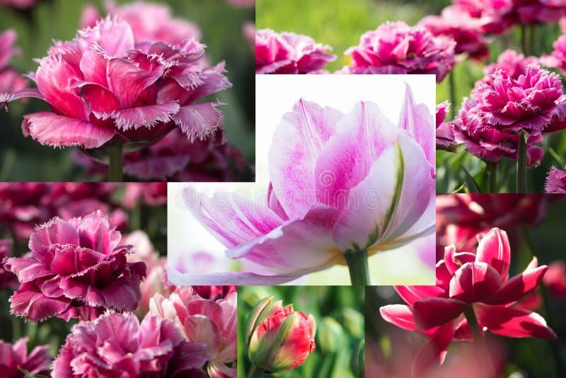 Colagem de tulipas cor-de-rosa bonitas Colagem da flor imagens de stock royalty free