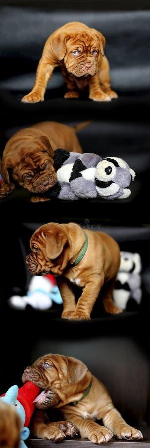 Colagem do cachorrinho de Dogue de Bordéus foto de stock