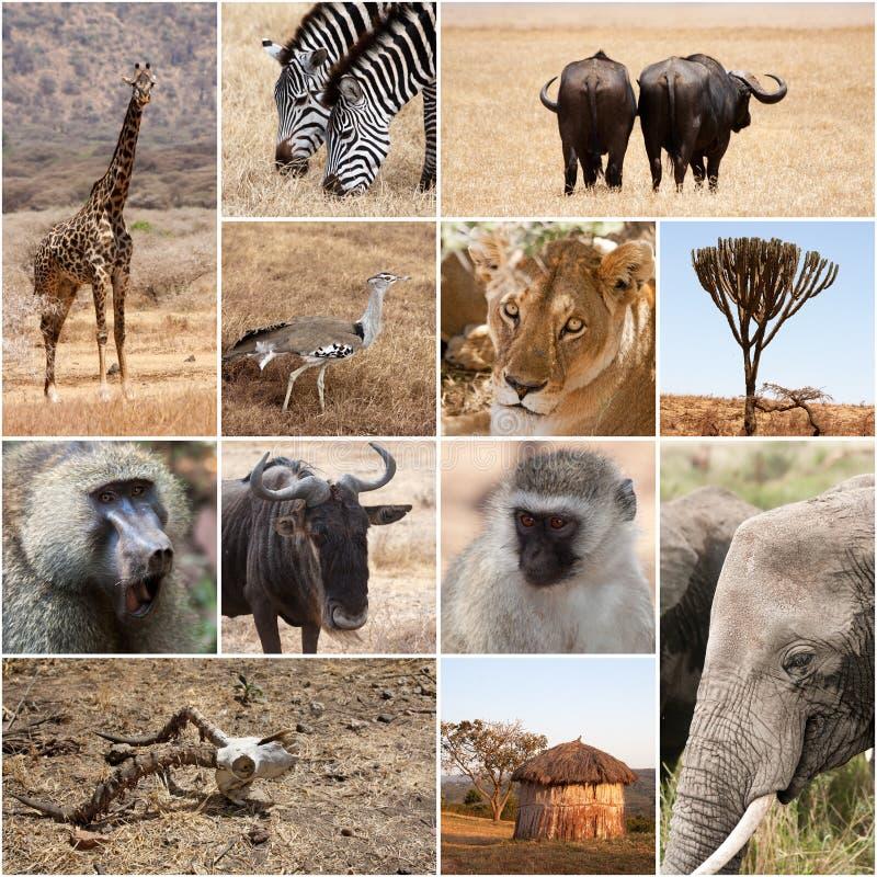 Colagem do safari fotografia de stock