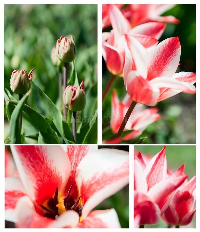 Colagem do Tulip imagem de stock royalty free
