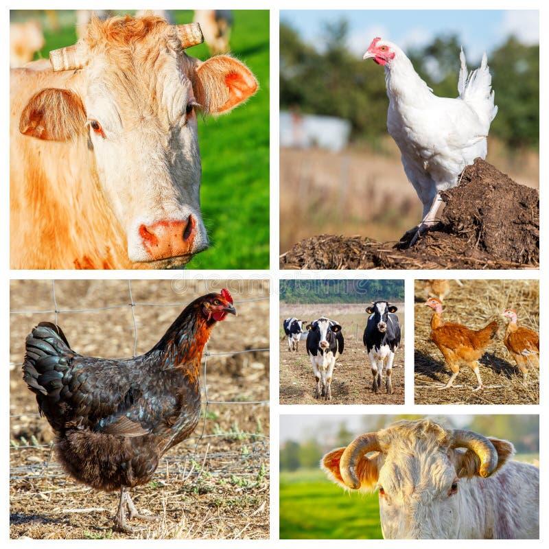 Colagem que representa diversos animais de exploração agrícola imagem de stock royalty free