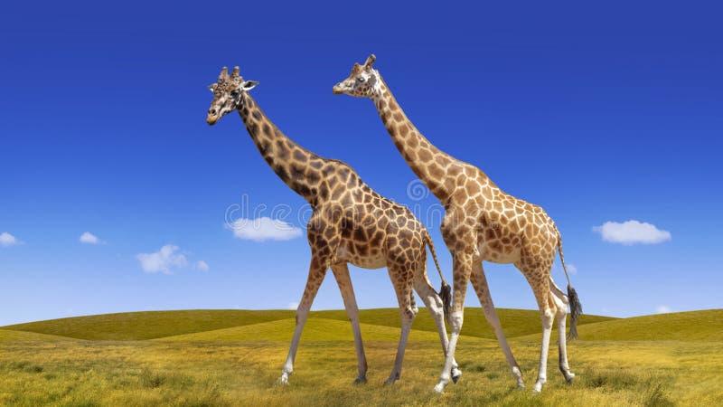 Colagem selvagem dos girafas no fundo do céu azul e do savana fotos de stock royalty free