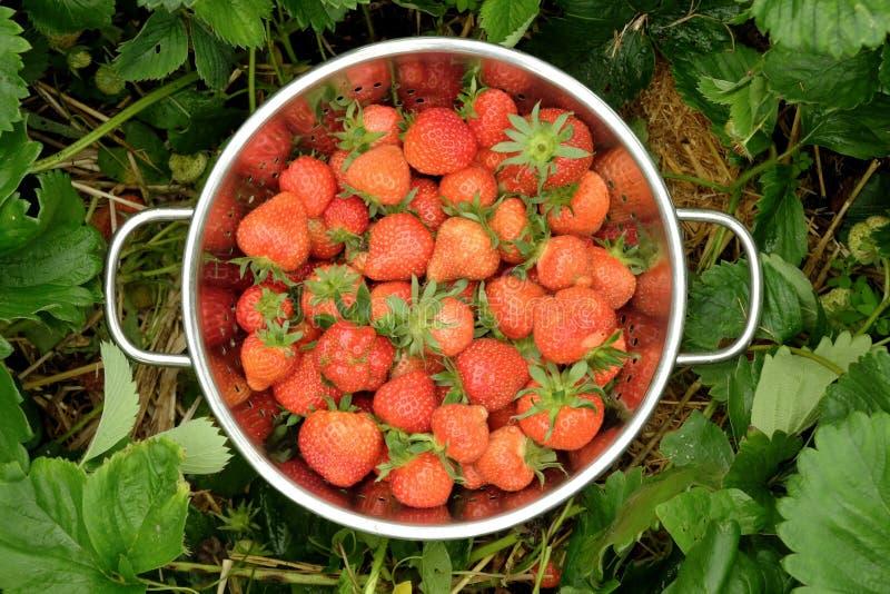 Colander pełno jaskrawe czerwone truskawki w łacie zielone truskawkowe rośliny obraz royalty free