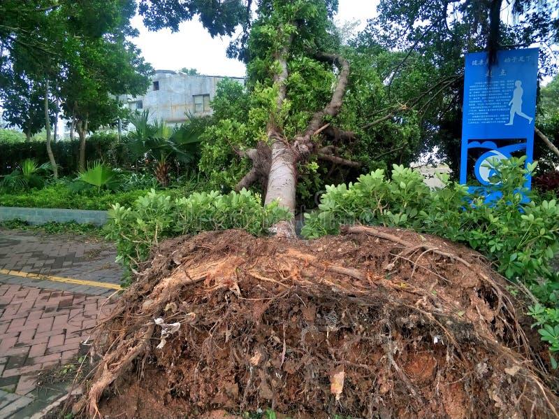 Colapso da árvore após o tufão fotografia de stock royalty free
