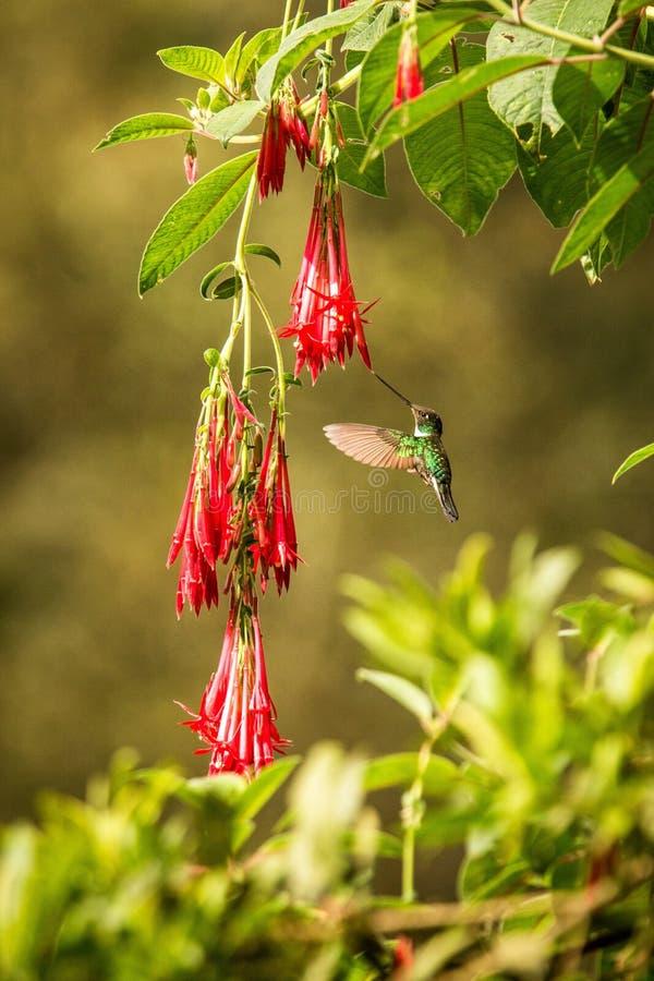 Colared inka howering obok czerwonego kwiatu, Kolumbia hummingbird z szeroko rozpościerać skrzydłami, hummingbird ssa nektar od o zdjęcie stock