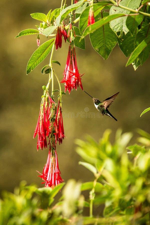 Colared inka howering obok czerwonego kwiatu, Kolumbia hummingbird z szeroko rozpo?ciera? skrzyd?ami, hummingbird ssa nektar od o obraz stock