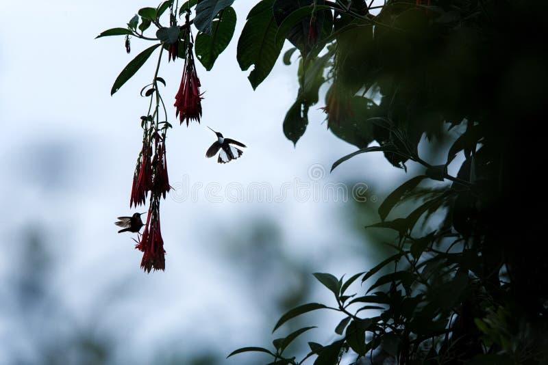 Colared inka howering obok czerwonego kwiatu, Kolumbia hummingbird z szeroko rozpo?ciera? skrzyd?ami, hummingbird ssa nektar od o zdjęcie stock