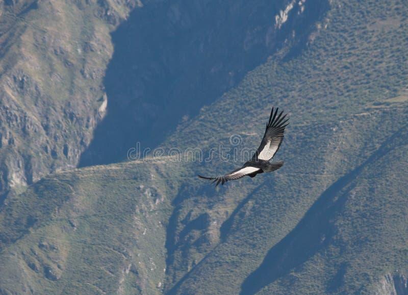 colca kondora canyon latać zdjęcia royalty free