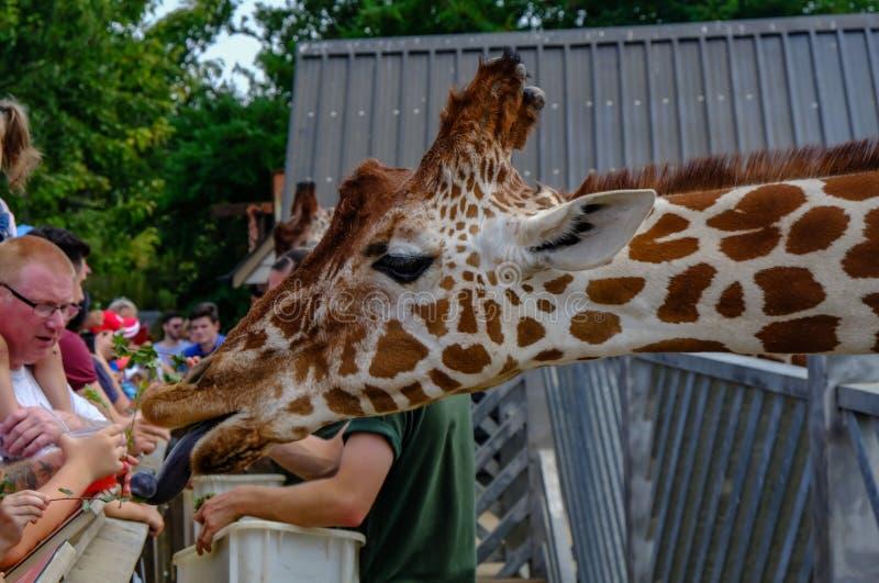 Giriaffe closeup at feeding time at the zoo stock photo