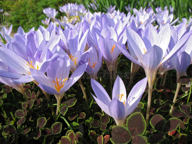 Colchicum Royalty Free Stock Images