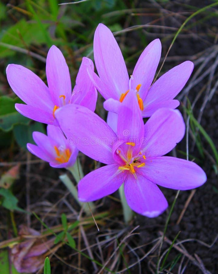 Colchicum autumnale, συνήθως γνωστός ως κρόκο φθινοπώρου, σαφράνι λιβαδιών ή γυμνές κυρίες στοκ εικόνες με δικαίωμα ελεύθερης χρήσης
