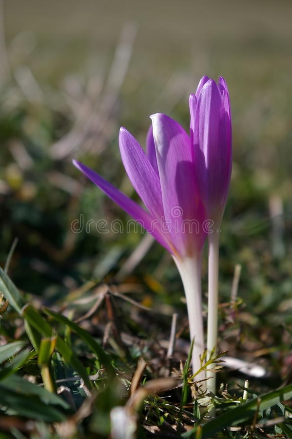 Flowers. Crocus flower. Autumn and spring background. Flowers. A pair of violet Crocus flower (Colchicum autumnale). Autumn and spring background royalty free stock images