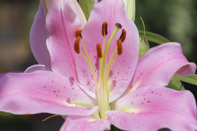 Colchicum autumnale flower macro portrait stock photos