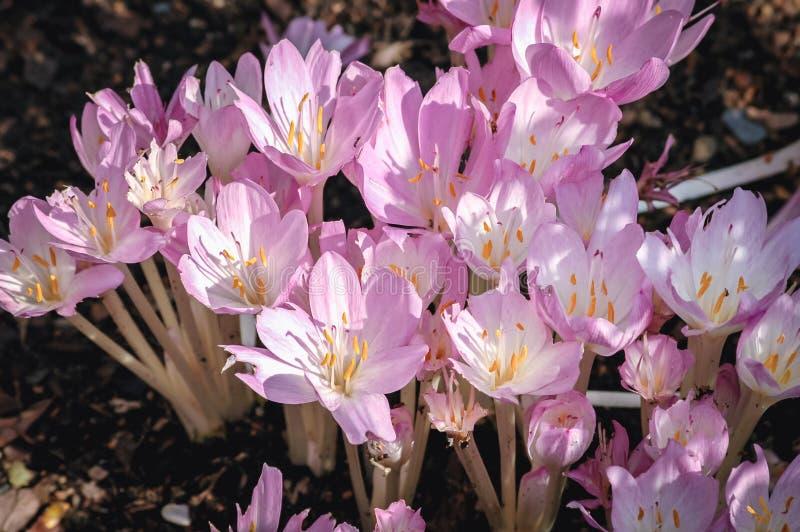 Autumn crocus flowers royalty free stock image
