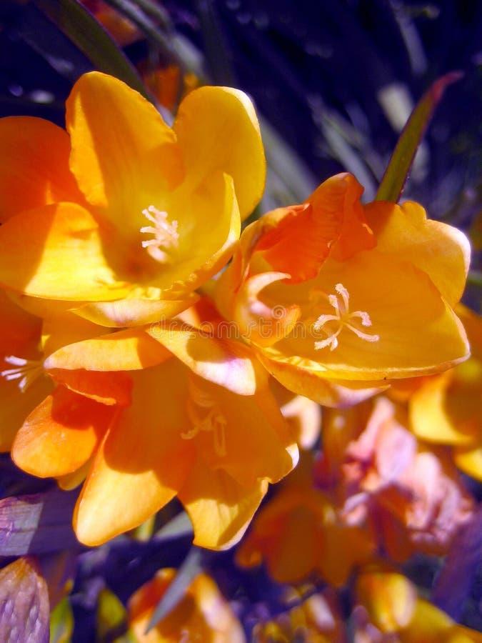 Colchicum autumnale kwiatu makro- tło zdjęcia royalty free