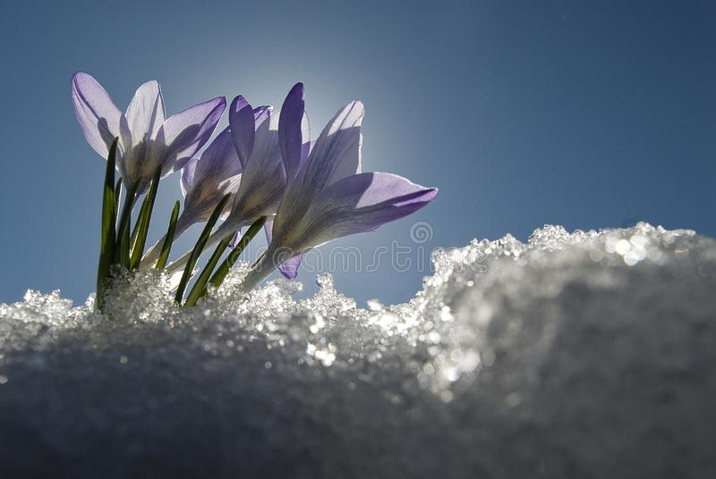Colchicum autumnale, Mountain Merendera. remove shops, Flower in the snow stock photos
