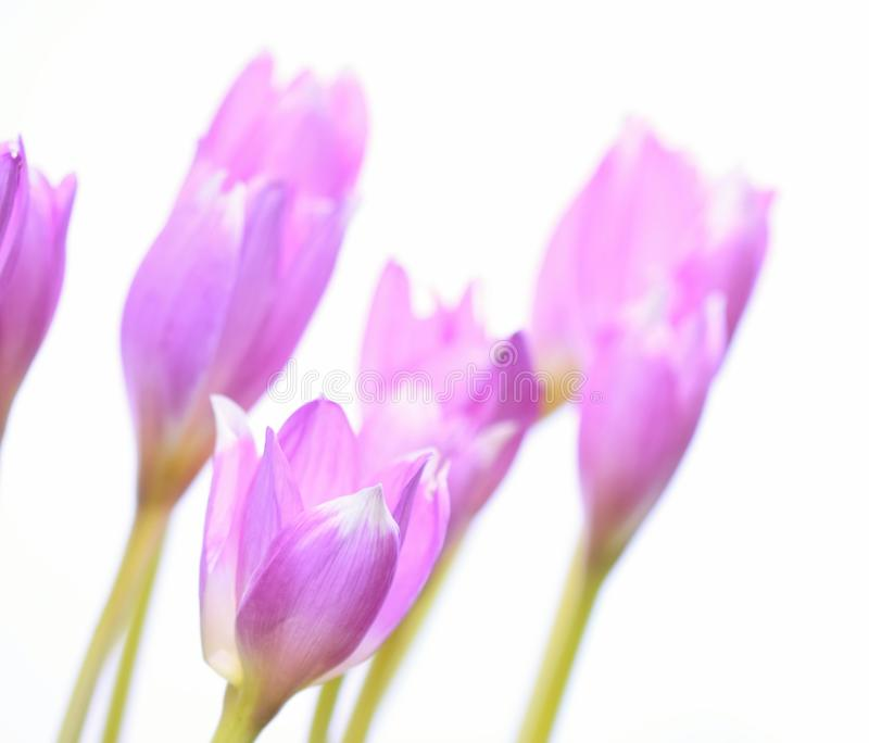 Colchicum Autumnale on white background. royalty free stock photography