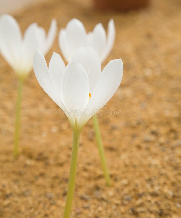 Colchicum blanc photos libres de droits