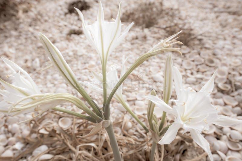 Colchicum di fioritura con le coperture nei precedenti fotografia stock