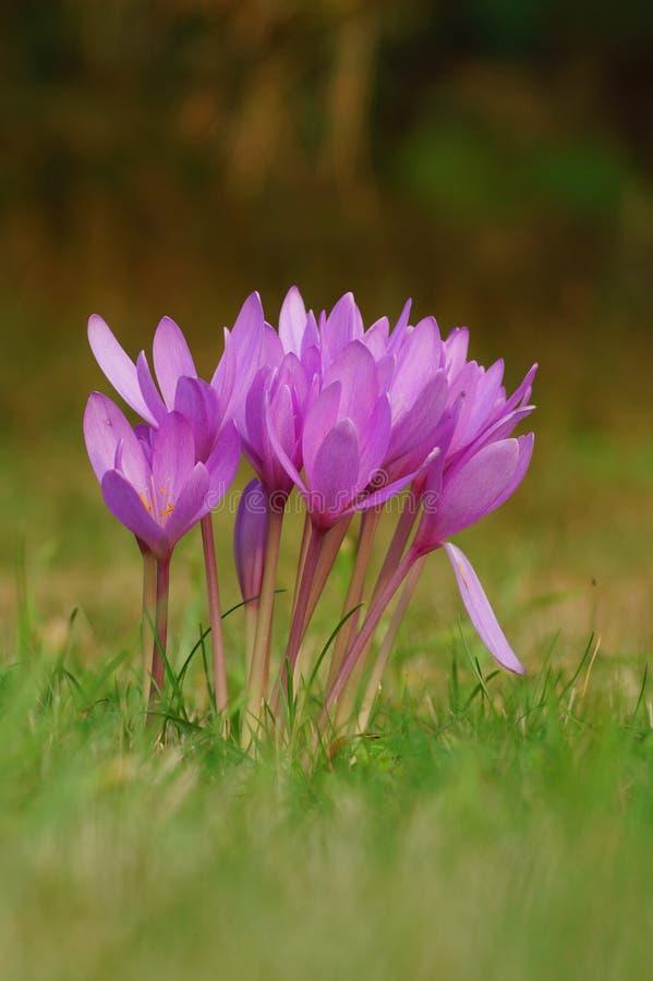 Colchicum kwiat zdjęcie stock