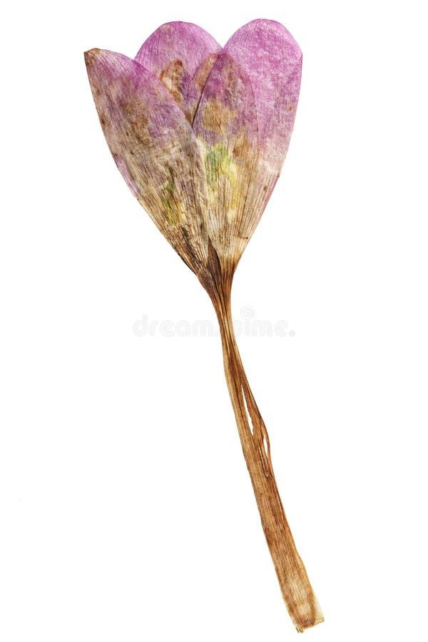Colchicum pressé et sec de fleur D'isolement photos stock