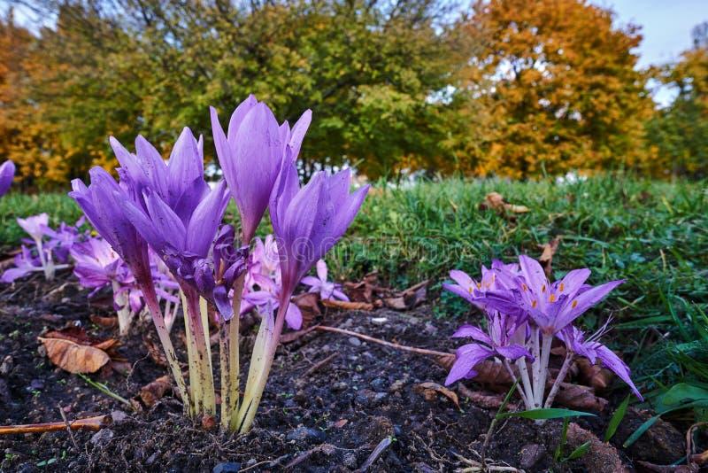 Colchicum violeta de la flor durante el otoño foto de archivo