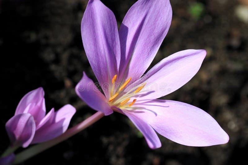 Colchicumautumnale, giftväxter och blommor royaltyfri fotografi