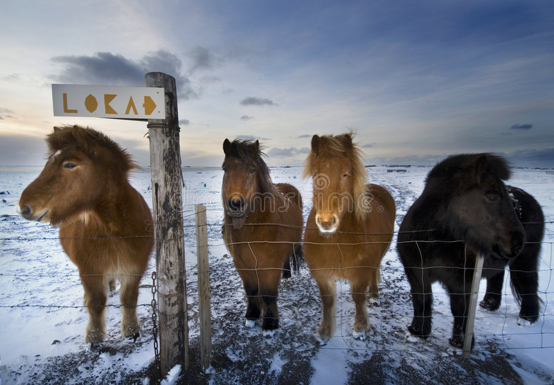 A cold day. Icelandic horses on a frozen field in the winter stock image