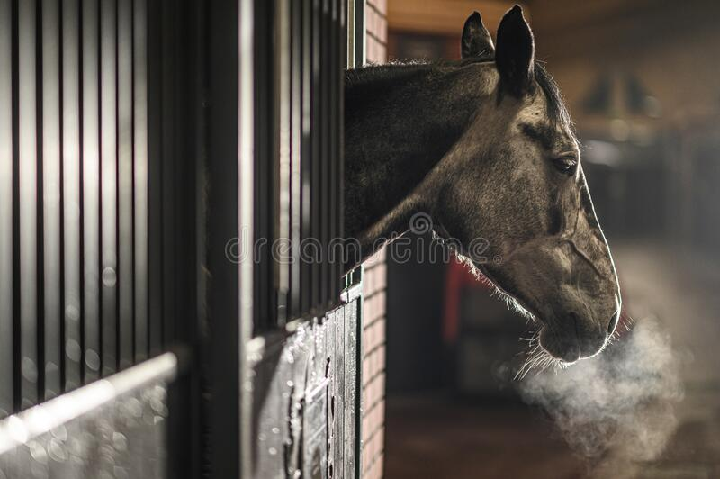 Cold Day in Equestrian Facility. Equestrian Facility. Cold Winter Time in the Barn. Mature Horse in a Stable Looking Outside of His Box stock images