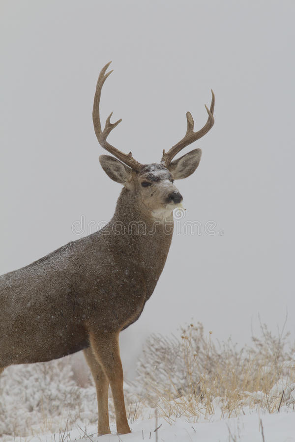Cold Mule Deer Buck. A large mule deer buck standing in a snow covered field royalty free stock photography