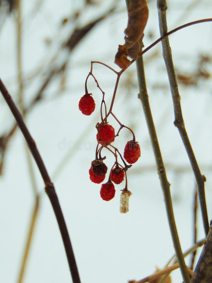 Cold Ruby Fruits royalty free stock images