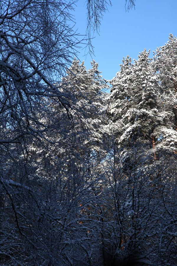 Cold wintertime pine forest in deep morning snow royalty free stock images