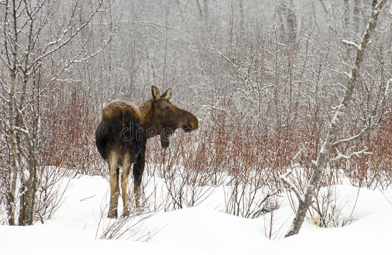 Cold Winter for Moose. Trees and bushes are bare with little food for the moose during the cold winter in Alaska stock photo
