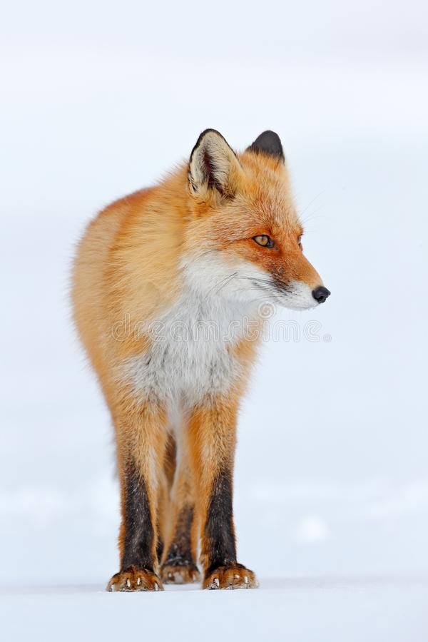 Cold winter with orange fur fox. Red fox in white snow. Hunting animal in the snowy meadow, Russia. Beautiful orange coat animal n. Red fox in white snow. Cold royalty free stock photo