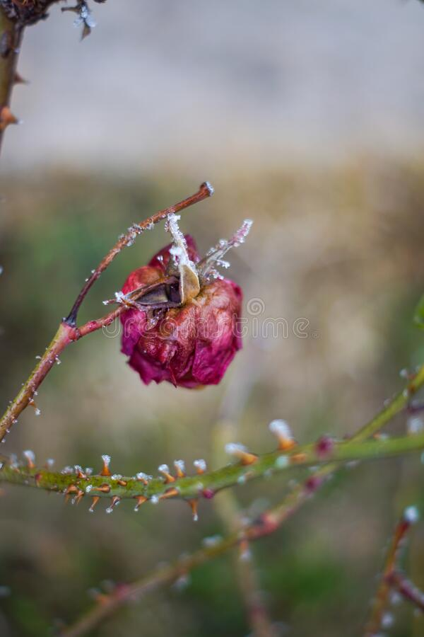 Cold withered rose royalty free stock photos
