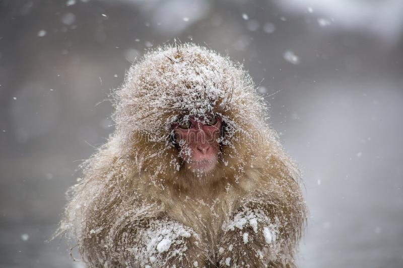 Cold young snow monkey in a snowstorm. A very young Japanese Macaque, or snow monkey, huddles beside a hot spring, shivering in a heavy snowstorm. These monkeys stock photo