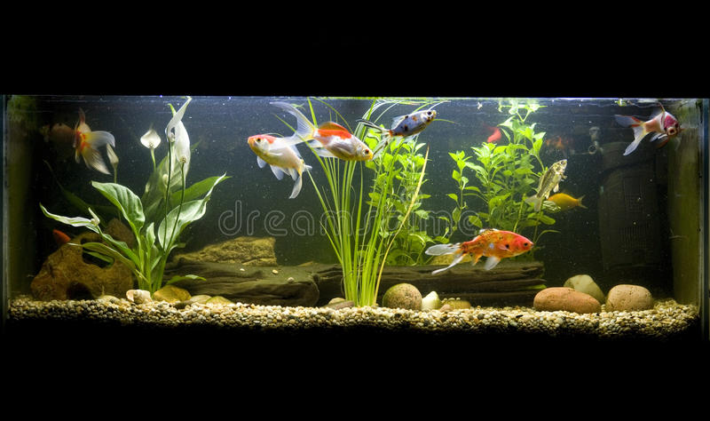 Coldwater Fish Tank Stock Photo