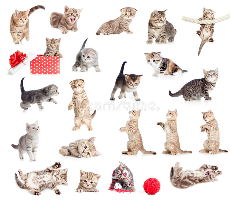 Coleção britânica dos gatos do bebê imagens de stock