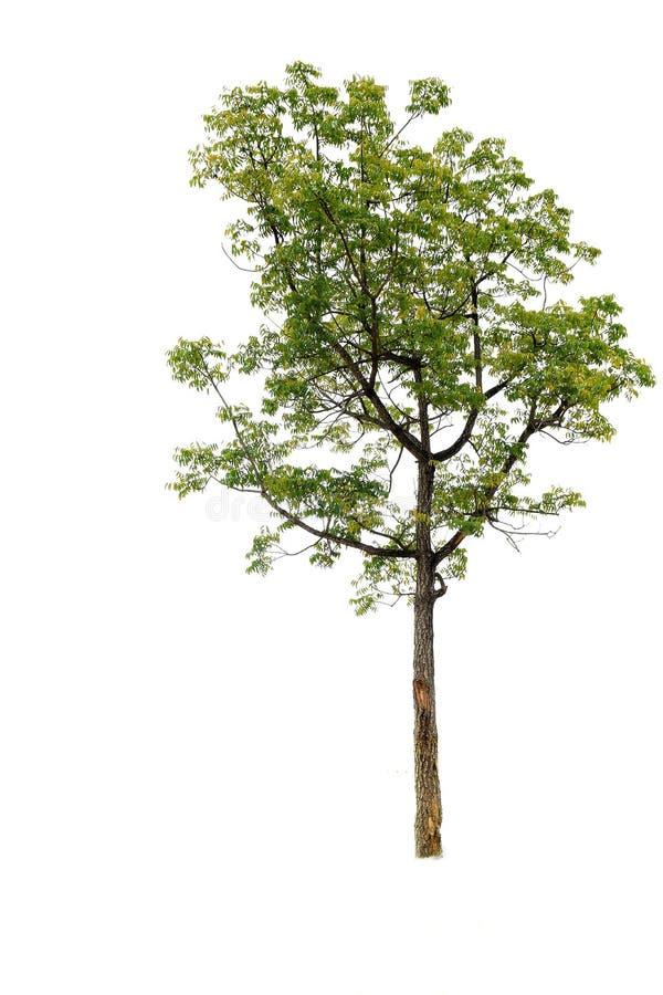 Coleção da árvore - folhas verdes Isolado no fundo branco imagem de stock