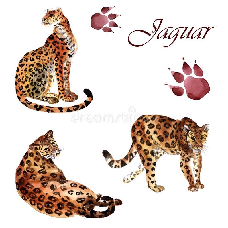 Coleção da aquarela dos jaguares isolados em um fundo branco ilustração stock