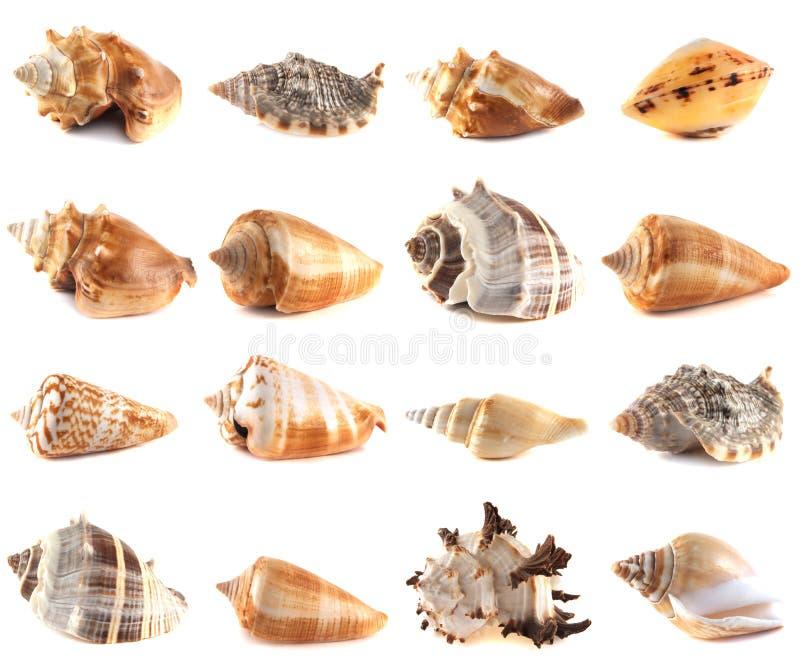 Coleção da concha do mar no fundo branco. fotografia de stock royalty free