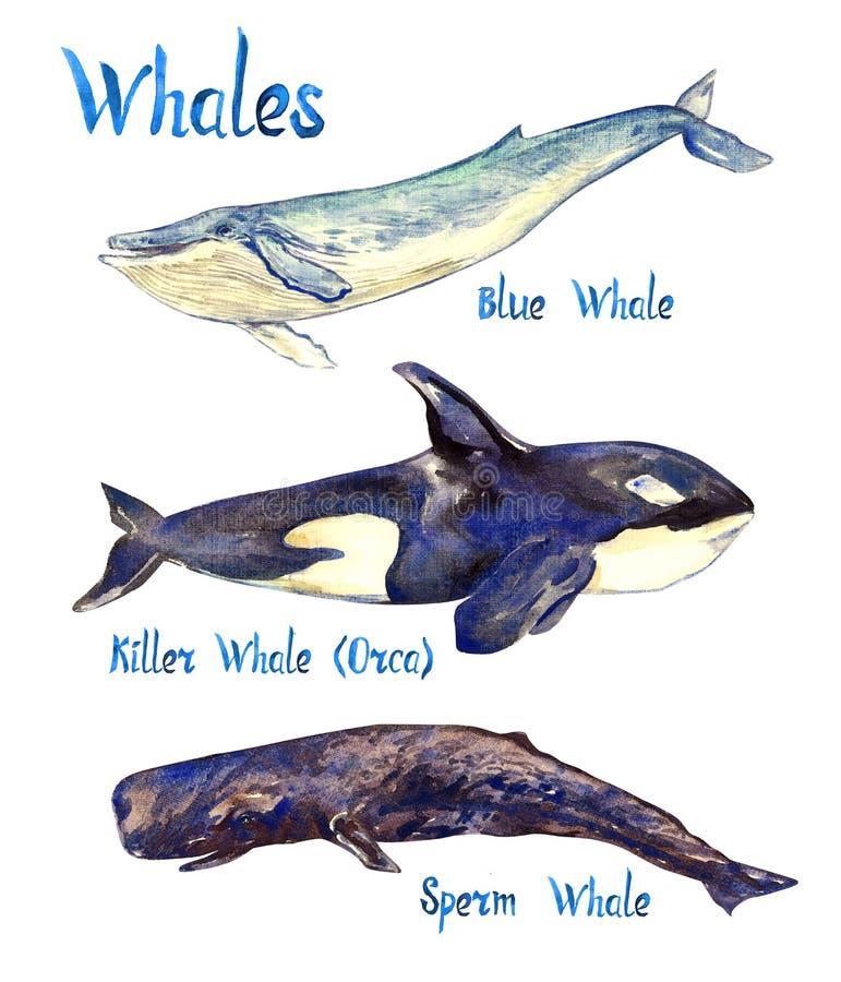 Coleção da espécie das baleias: Azul, baleia da orca da baleia de assassino e de esperma, isolados no fundo branco ilustração royalty free