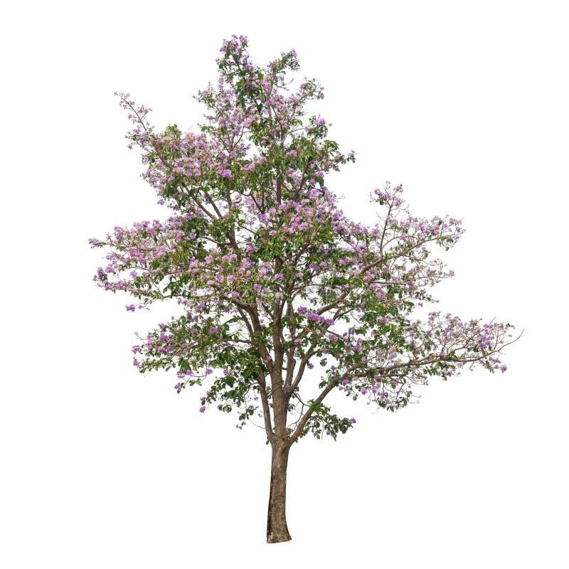 Coleção das árvores com a flor cor-de-rosa isolada no fundo branco imagens de stock royalty free