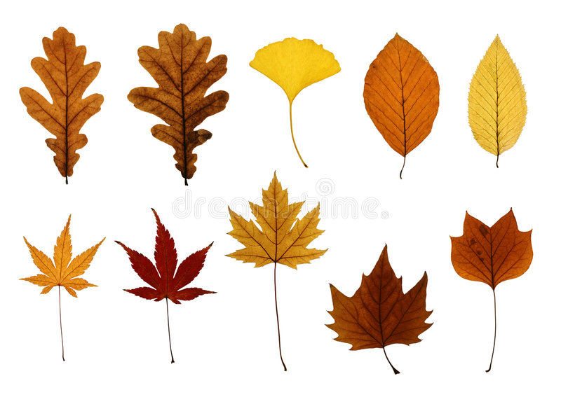 Coleção das folhas de outono isoladas no branco fotografia de stock