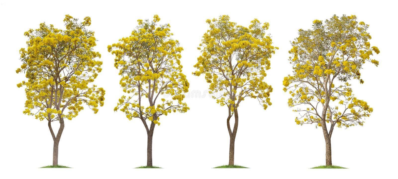 Coleção de árvores de trombeta de prata isoladas ou de Tabebuia amarelo no fundo branco imagem de stock royalty free