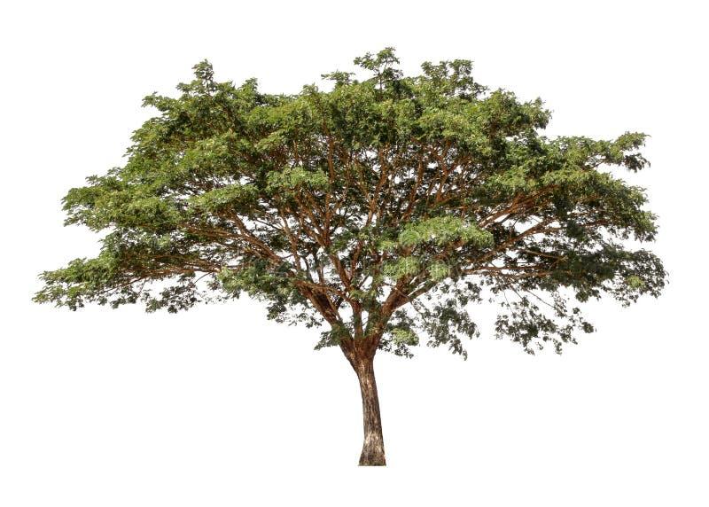 Coleção de árvores isoladas em um fundo branco Árvore bonita é apropriado para o uso na decoração, na decoração, e em imprimir fotos de stock royalty free